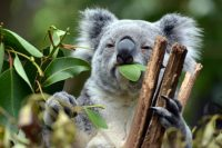 Koala Sanctuary, Brisbane Australia – September 2007