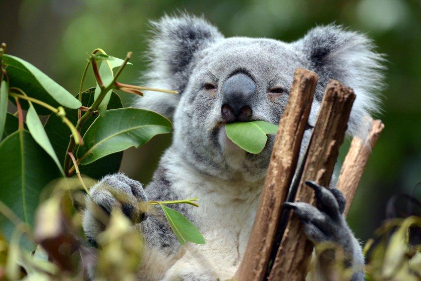 koala-brisbane