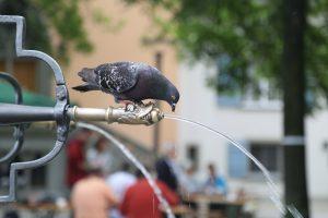 pigeon-drinking