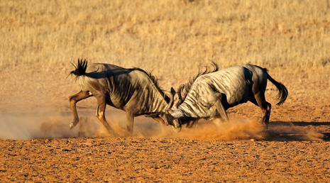 Two male blue wildebeest Connochaetes taurinus) fighting for territory, Kalahari desert, South Africa.