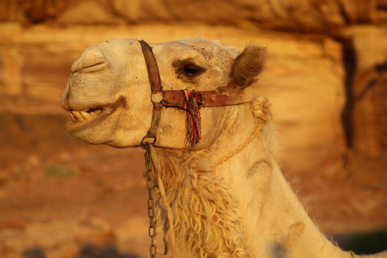 Wadi-Rum-Camels (7)