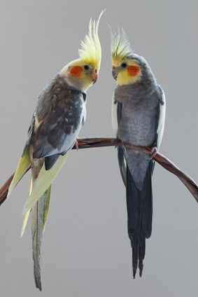 Pet birds cockatiels