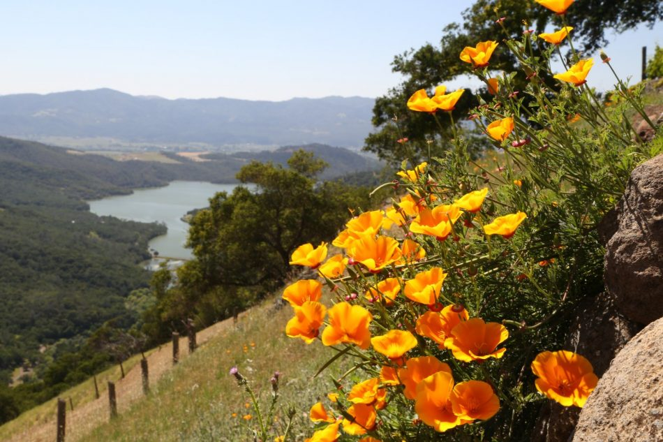 poppies-california