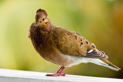 antigua-pigeon