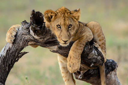 Young lion hanging out