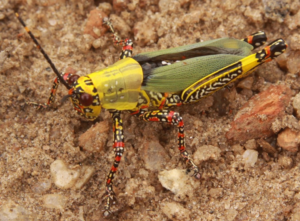 tropical-grasshopper