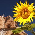 sunflower-ohrid