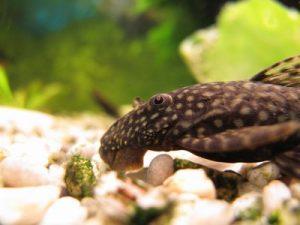 suckermouth-catfish