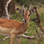 Closeup of an Impala