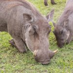 Warthogs - no need for lawnmowers!