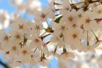 Cherry Blossoms, Korea