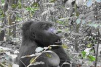 Mountain Gorillas – Uganda's Star Attraction