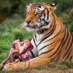 india-tiger