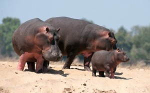 Hippo-Africa