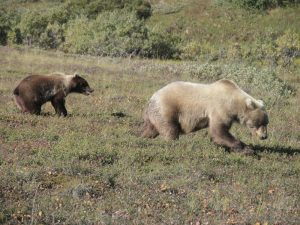 Grizzly-Mom-Cub
