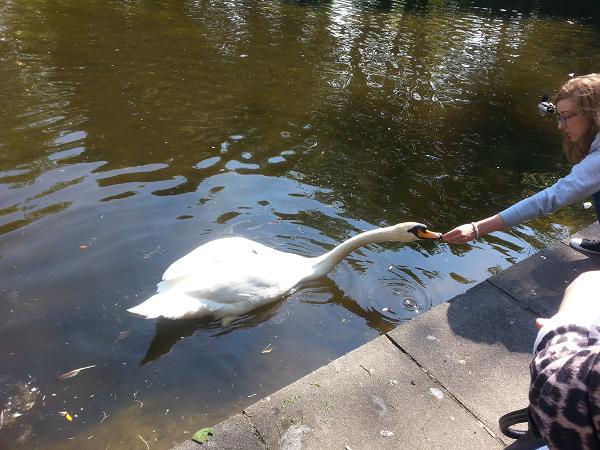Girl feeding swan