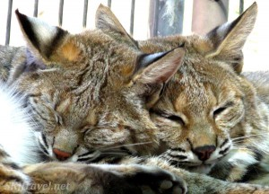 Keepers of the Wild bobcats by shara johnson