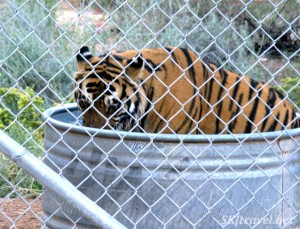Keepers of the Wild tiger eating meat in water tank by Shara Johnson