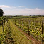 Kopingsbergs-Vines