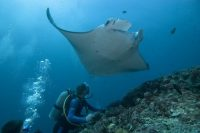 Palau, Micronesia Has Over 235 Manta Rays