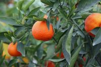 "Placer County, California, Discovers ""Gold"" Growing on Trees at the Annual Mountain Mandarin Festival"