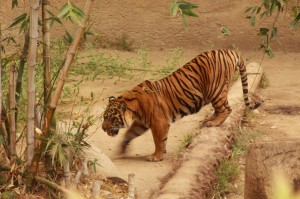 tiger-la-zoo