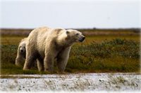 Walking with Polar Bears: The Next Great Safari