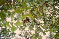 The Abominable Sumatran