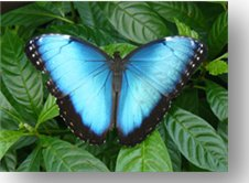 Morpho Butterfly. Photo courtesy of the Lodge at Pico Bonito