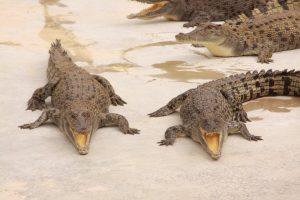 croc-cove-darwin (1)