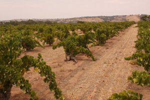 old-vine-barossa