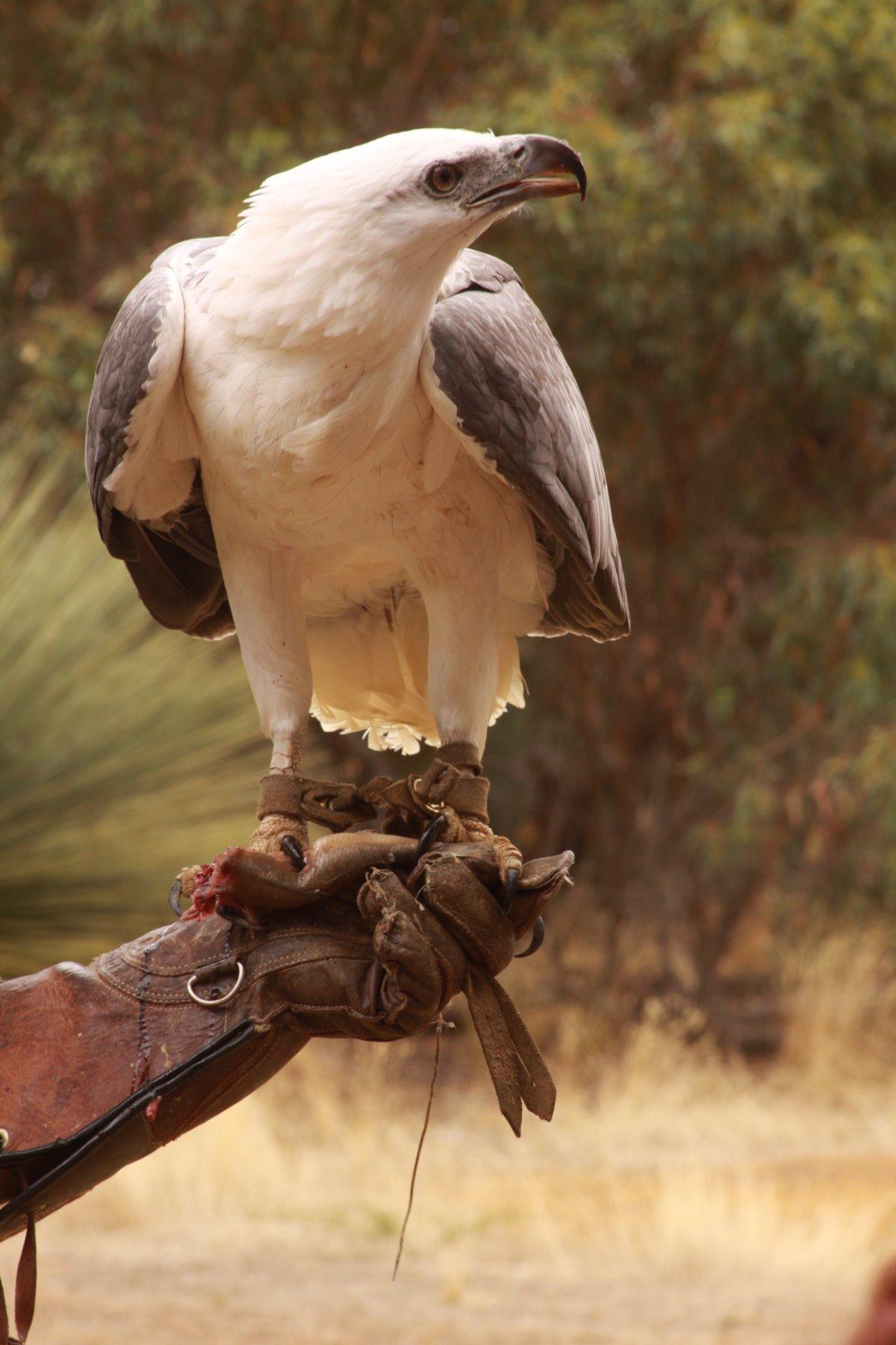 Raptor Kangaroo Island