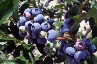 31st Annual Whitesbog Blueberry Festival, June 28th, Browns Mills, NJ