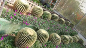 Splendid rows of cacti