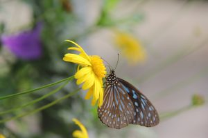 The charming & colourful butterfly drawing nectar off polen in the butterfly farm