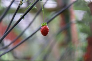 The dangling strawberry not juicy yet to be plucked at the strawberry farm