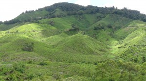 The lush carpet of the rolling tea hills