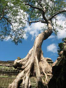 Angkor-Crooked-Tree