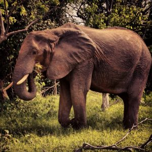 africa-elephant