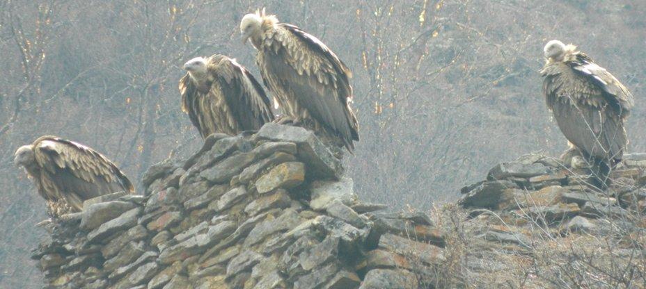 Himalayan vultures at Jangothang.