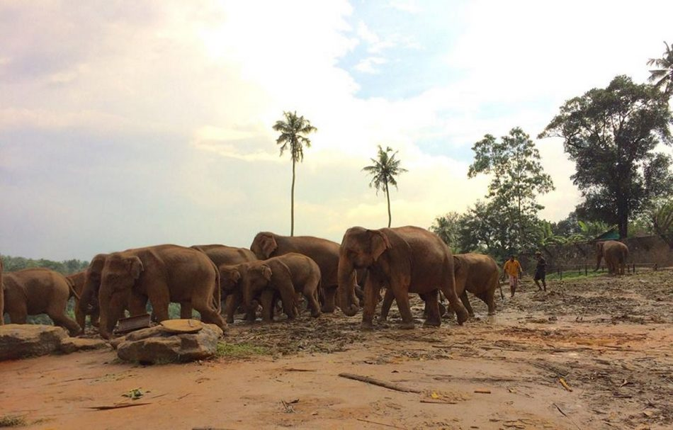 Pinnawala-Elephant-Orphanage (1)