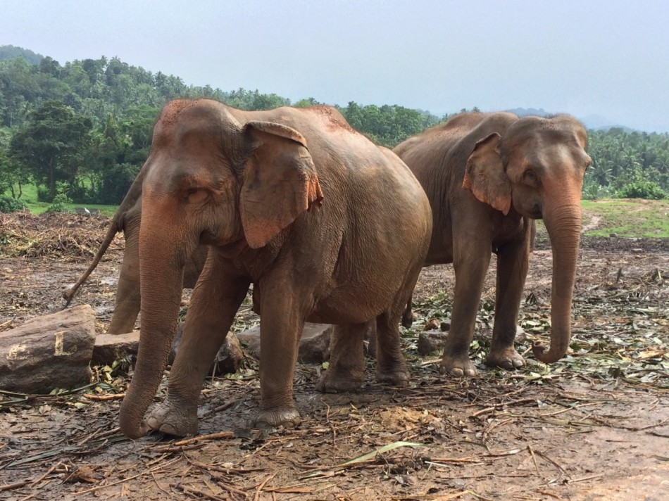 Pinnawala-Elephant-Orphanage (2)