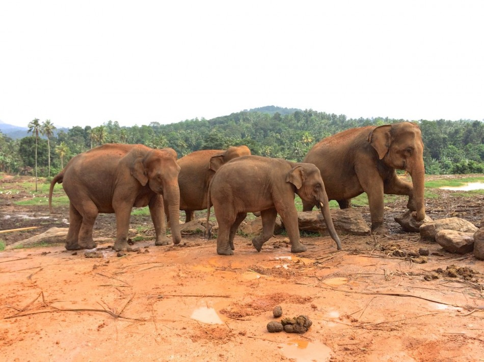 Pinnawala-Elephant-Orphanage (8)