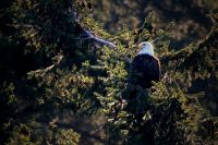 Where Eagles Roam: Howe Sound, British Columbia