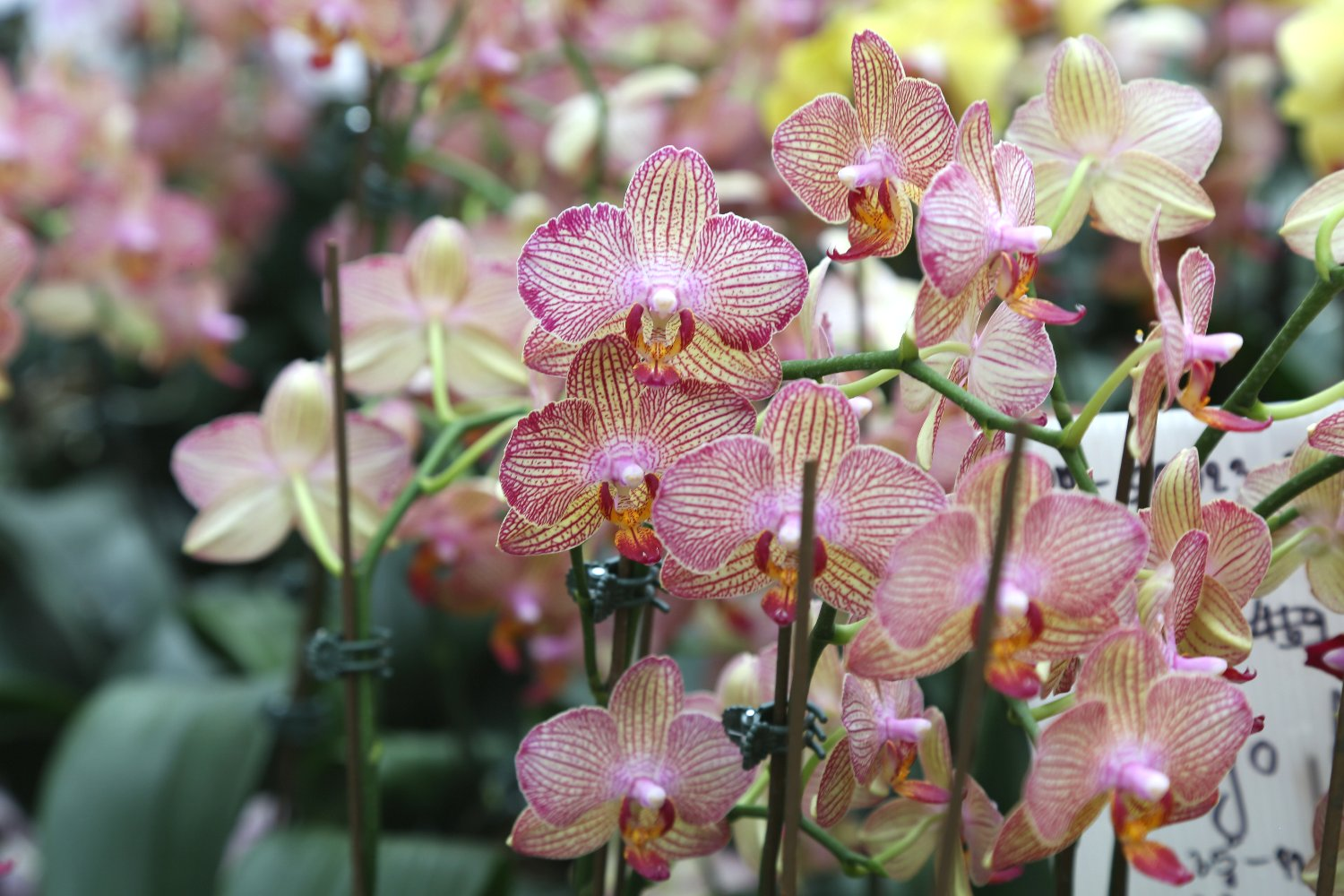 orchids-national-orchid-museum-port-moresby