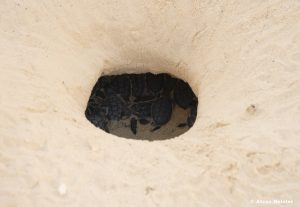 casamagna-marriott-cancun-baby-turtle-nest