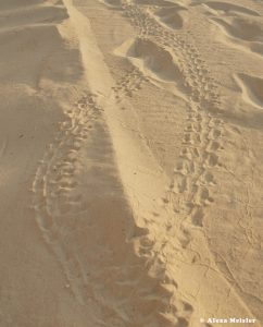 casamagna-marriott-cancun-baby-turtle-tracks