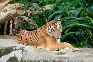 Large male tiger