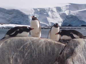 Lounging Gentoo penguins Credit © Oceanwide Expeditions, M & M van der Hulst