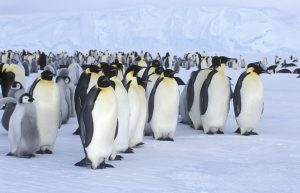 Emperor colony Credit: © Oceanwide Expeditions, PolarNews